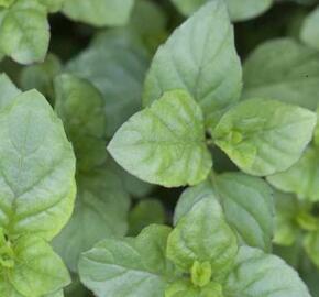 Máta jemná anglická 'Mandarin Mint' - Mentha piperita 'Mandarin Mint'