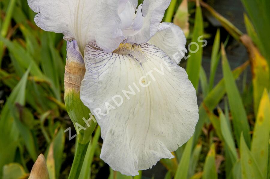 Kosatec německý 'Glacier' - Iris barbata-elatior 'Glacier'