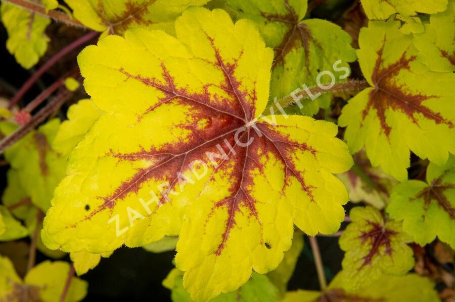 Dlužela 'Stoplight' - Heucherella hybrida 'Stoplight'