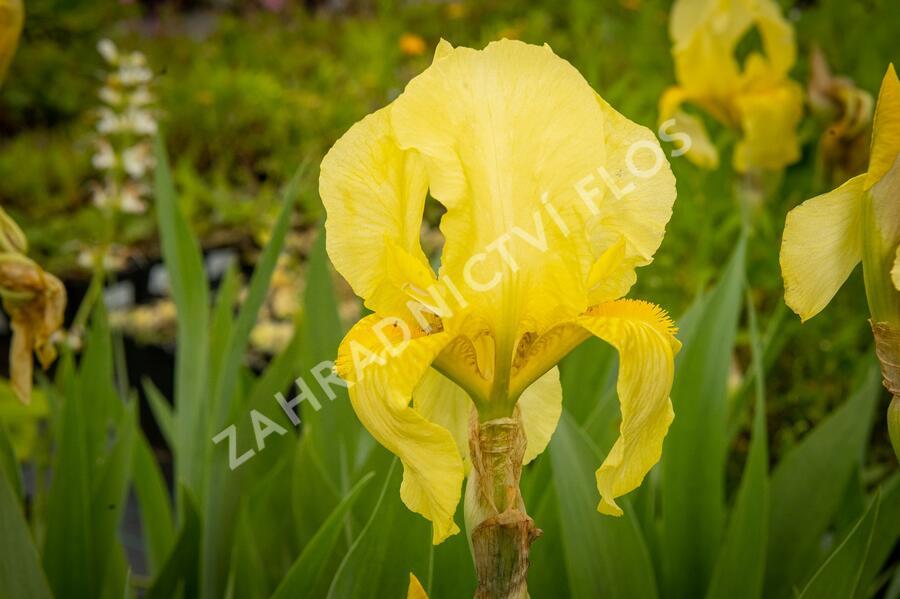 Kosatec německý 'Lime Fizz' - Iris barbata-elatior 'Lime Fizz'