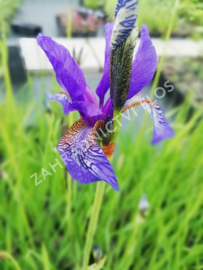 Kosatec sibiřský - Iris sibirica