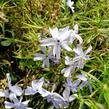 Plamenka šídlovitá 'Oakington Blue Eyes' - Phlox subulata 'Oakington Blue Eyes'