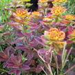 Pryšec mnohobarvý 'Bonfire' - Euphorbia polychroma 'Bonfire'
