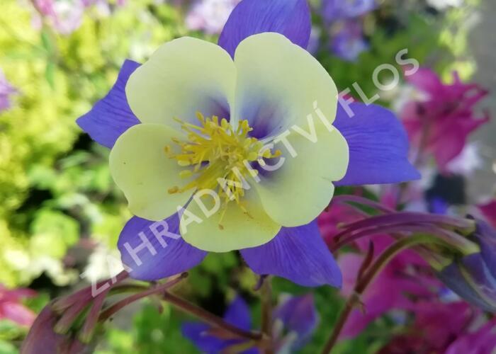 Orlíček 'Blue Star' - Aquilegia caerulea 'Blue Star'