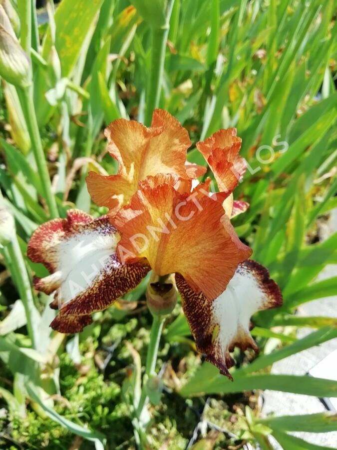 Kosatec německý 'Siva-Siva' - Iris barbata-elatior 'Siva-Siva'