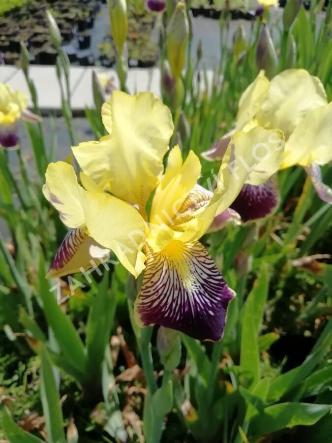 Kosatec německý 'Nibelungen' - Iris barbata-elatior 'Nibelungen'