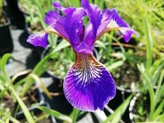 Kosatec 'Flos' - Iris 'Flos'