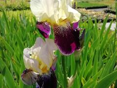 Kosatec německý 'Salonikí' - Iris barbata-elatior 'Saloniki'