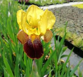 Kosatec německý 'Pinnacle' - Iris barbata-elatior 'Pinnacle'