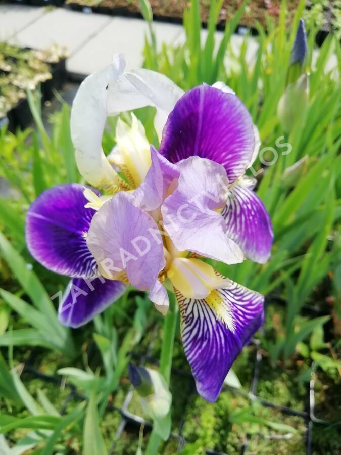 Kosatec německý 'Hellblau lila' - Iris barbata-elatior 'Hellblau lila'