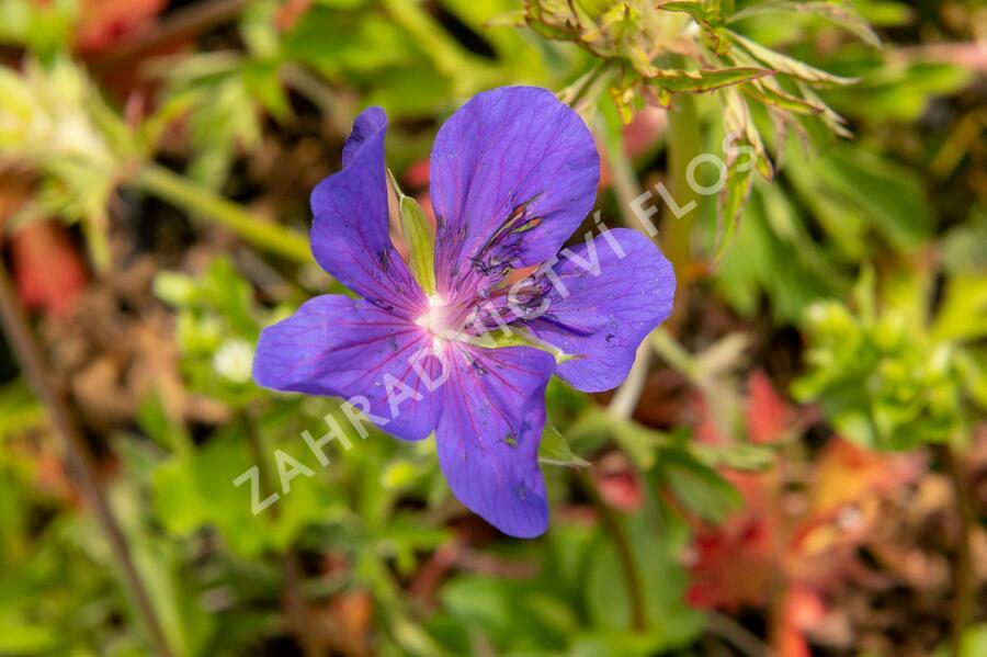 Kakost luční 'Spinners' - Geranium pratense 'Spinners'