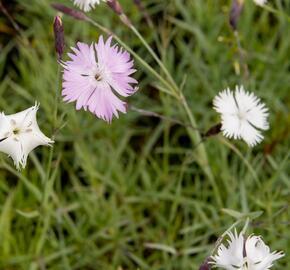 Hvozdík časný pravý - Dianthus praecox