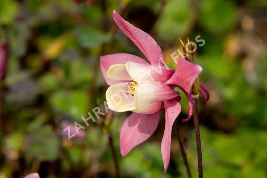 Orlíček vějířovitý 'Cameo Rose White' - Aquilegia flabellata 'Cameo Rose White'