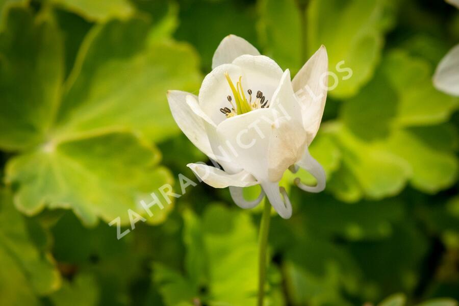Orlíček vějířovitý 'Alba' - Aquilegia flabellata var. pumila 'Alba'