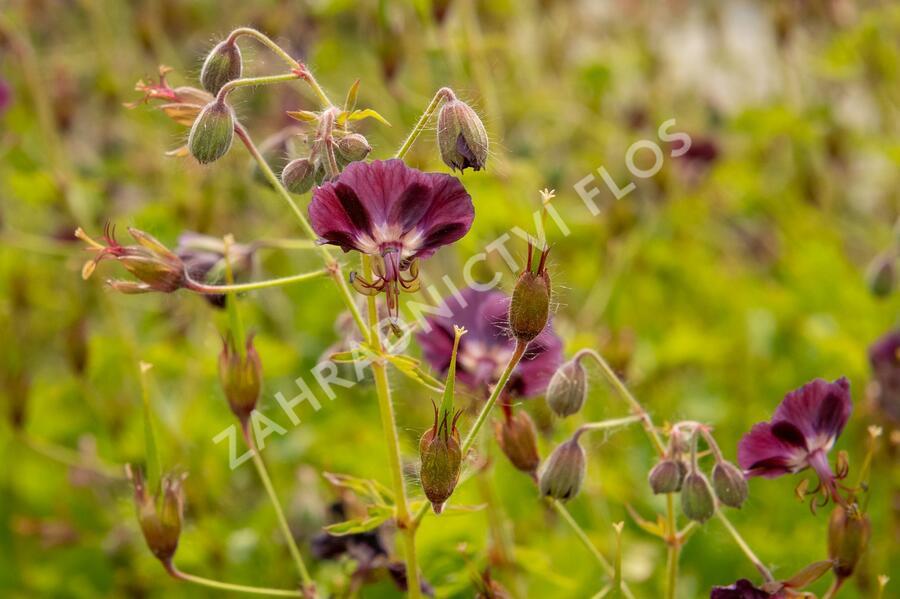 Kakost hnědočervený - Geranium phaeum