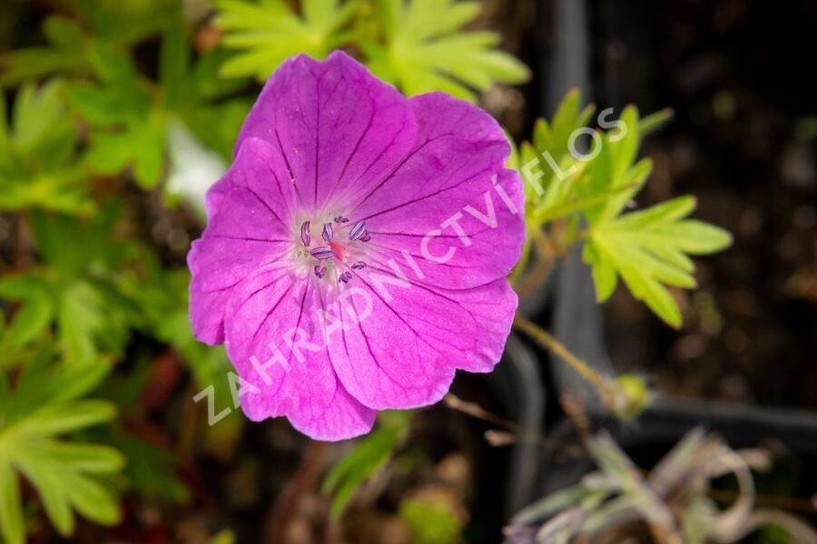 Kakost krvavý 'Aviemore' - Geranium sanguineum 'Aviemore'