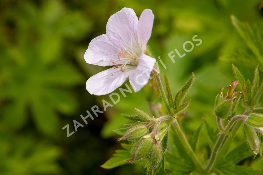 Kakost lesní 'Roseum' - Geranium sylvaticum 'Roseum'
