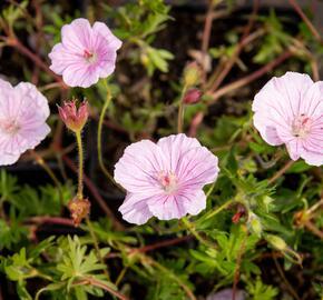 Kakost krvavý 'striatum Lancastrie' - Geranium sanguineum 'striatum Lancastrie'