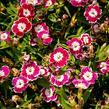 Hvozdík pyšný 'Olivia Sweet' - Dianthus superbus 'Olivia Sweet'