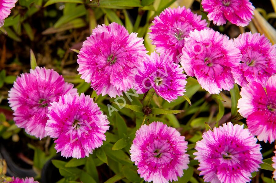 Hvozdík pyšný 'Olivia Wild' - Dianthus superbus 'Olivia Wild'