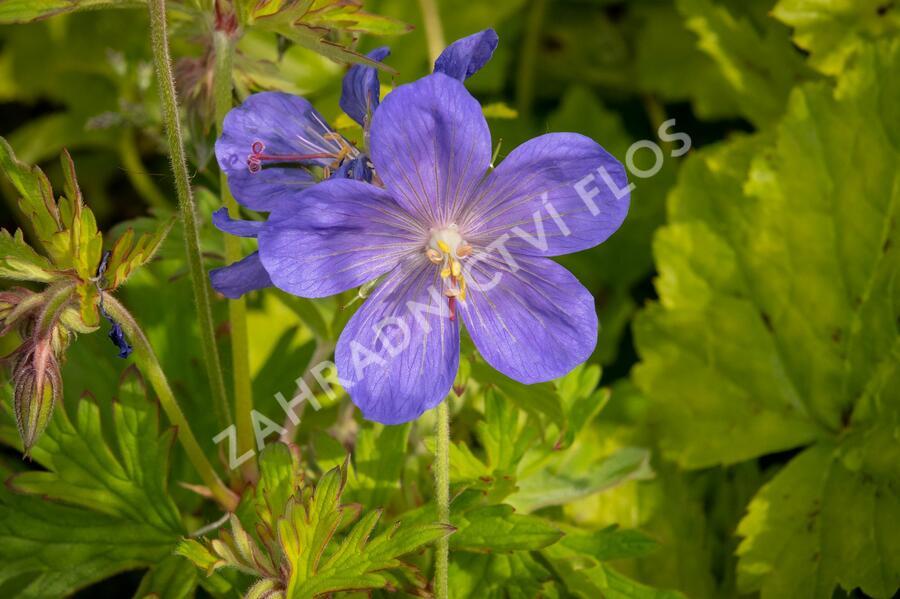 Kakost himalájský 'Johnson's Blue' - Geranium himalayense 'Johnson's Blue'