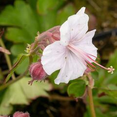 Kakost 'Lohfelden' - Geranium x cantabrigiense 'Lohfelden'