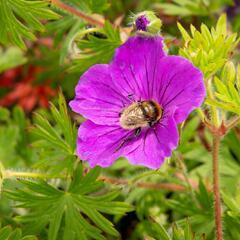 Kakost krvavý 'Tiny Monster' - Geranium sanguineum 'Tiny Monster'