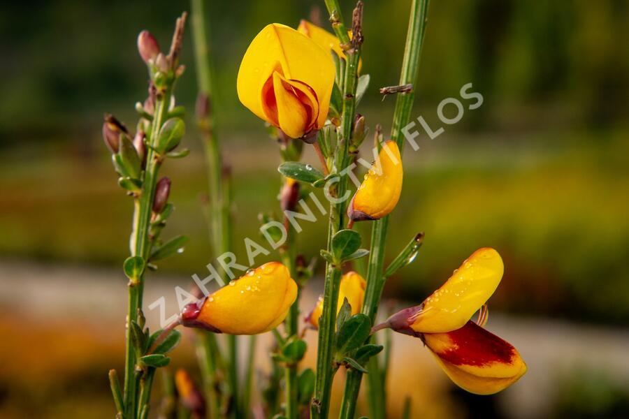Čilimník 'Andreanus Splendens' - Cytisus 'Andreanus Splendens'
