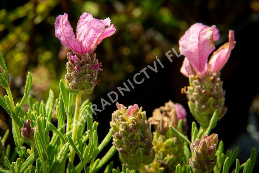 Levandule korunkatá 'Lavita Pink' - Lavandula stoechas 'Lavita Pink'