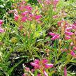 Dračík vousatý 'Pristine Pink' - Penstemon barbatus 'Pristine Pink'