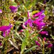 Dračík vousatý 'Pristine Lila Purple' - Penstemon barbatus 'Pristine Lila Purple'