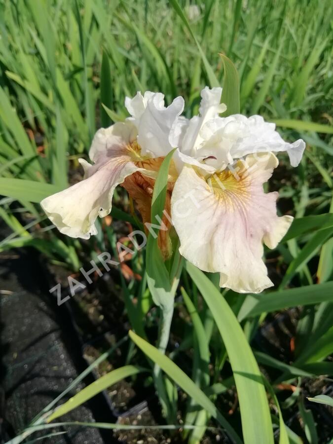 Kosatec sibiřský 'Peacock Butterfly Wynne Magnolia' - Iris sibirica 'Peacock Butterfly Wynne Magnolia'