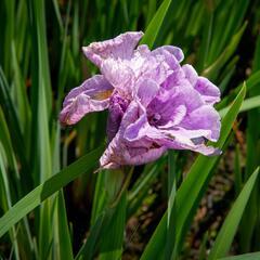 Kosatec sibiřský 'Pink Parfait' - Iris sibirica 'Pink Parfait'