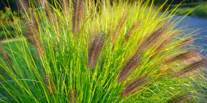 traviny Pennisetum Viridescens_Pennisetum alopecuroides