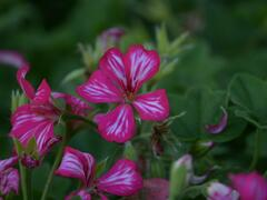 Muškát, pelargonie převislá jednoduchá velkokvětá 'Blizzard Rose Bicolor' - Pelargonium peltatum 'Blizzard Rose Bicolor'