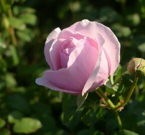 Růže velkokvětá 'Princess Claire of Belgium' - Rosa VK 'Princess Claire of Belgium'