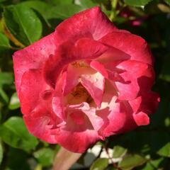 Růže velkokvětá 'Dick Clarck' - Rosa VK 'Dick Clarck'