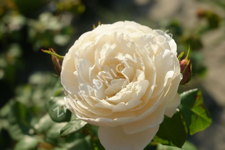 Anglická růže Davida Austina 'William and Catherine' - Rosa S 'William and Catherine'