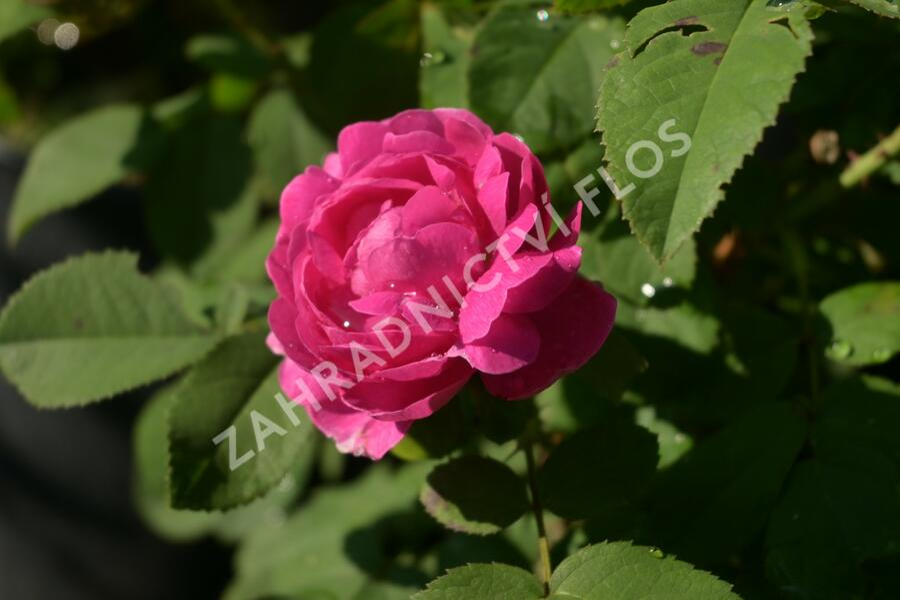 Růže parková 'Rose de Resht' - Rosa S 'Rose de Resht'