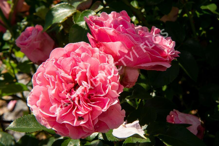 Růže mnohokvětá Meilland 'Leonardo da Vinci' - Rosa MK 'Leonardo da Vinci'