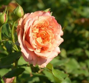 Růže parková Kordes 'La Villa Cotta' - Rosa S 'La Villa Cotta'
