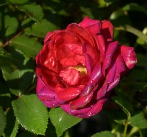 Růže mnohokvětá Kordes 'Till Eulenspiegel' - Rosa MK 'Till Eulenspiegel'