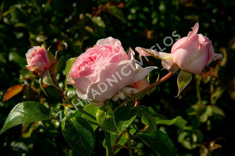 Růže parková Kordes 'Wellenspiel' - Rosa S 'Wellenspiel'