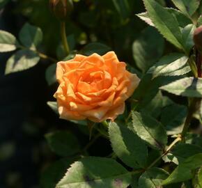Růže mnohokvětá Tantau 'Clementine' - Rosa MK 'Clementine'