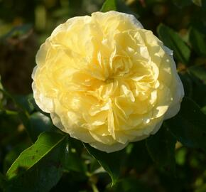 Růže mnohokvětá Kordes 'Solero' - Rosa MK 'Solero'
