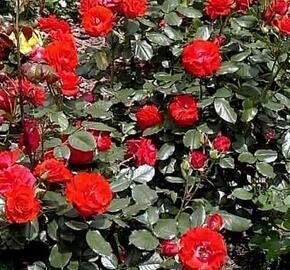 Růže mnohokvětá 'Montana' - Rosa MK 'Montana'