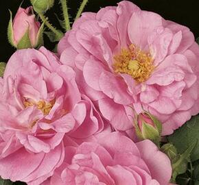 Růže mnohokvětá 'Cape Diamond' - Rosa MK 'Cape Diamond'