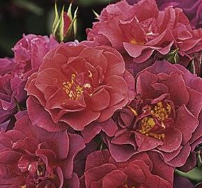 Růže mnohokvětá 'Celebration Time' - Rosa MK 'Celebration Time'