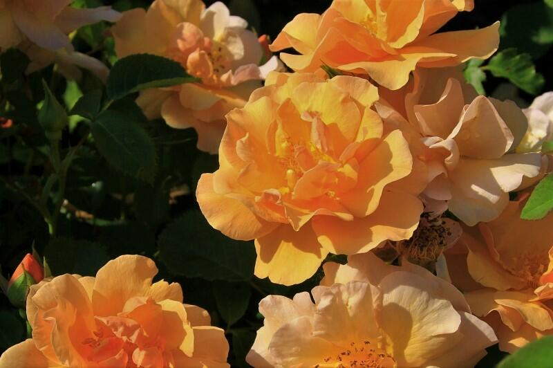 Růže mnohokvětá 'Campina Gold' - Rosa MK 'Campina Gold'
