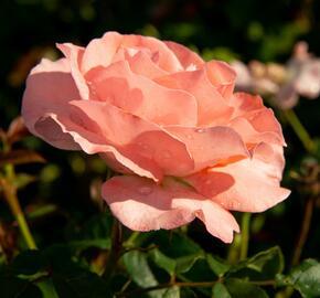 Růže pnoucí 'Alfresco' - Rosa PN 'Alfresco'